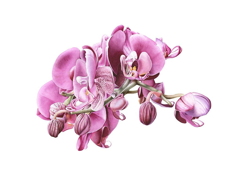 Botanical painting of a pnk orchid