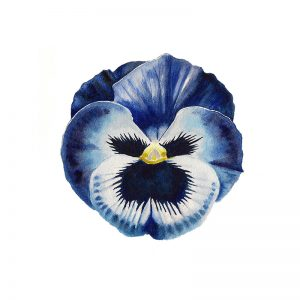 Watercolour painting pansy