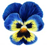 Pandemic Pansy - Giant I